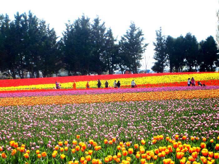 tulip_b