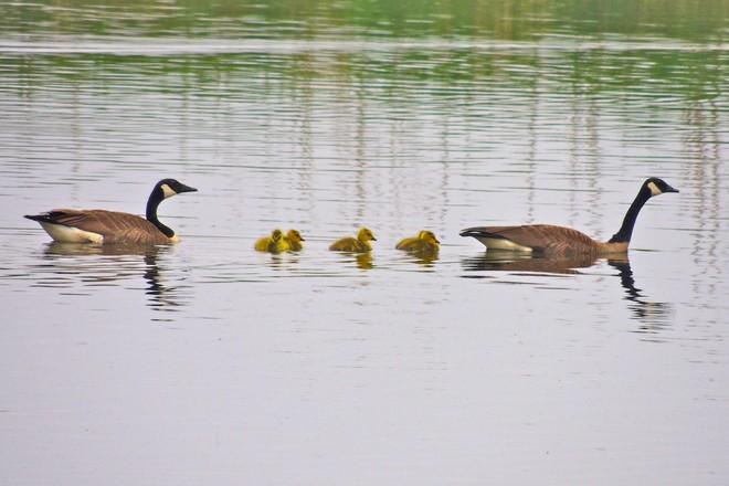 geese_b