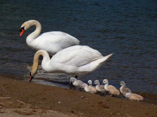 swan_b